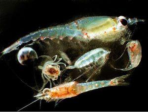 Ejemplos de zooplancton