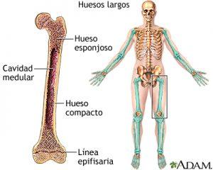 Ejemplos de huesos largos