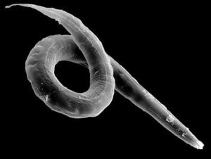 Ejemplos de nematodos
