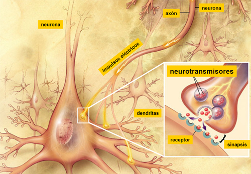 Ejemplos de neurotransmisores