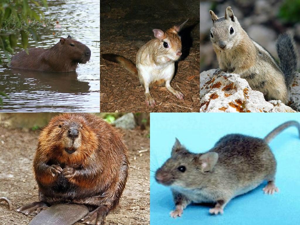 ejemplo de roedores
